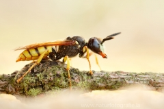 43 Bienenwolf - Philanthus triangulum